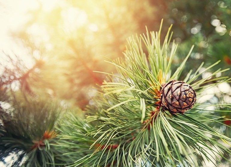 Green_coniferous_cedar_ripe_pine_cones_on_tree_branch_forest_sunlight._Concept_harvesting_and_receiving_oil.
