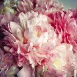 Fluffy_pink_peonies_flowers_background